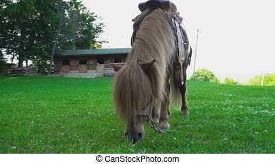 Brown horse pony with a big mane - Brown horse pony walks on...