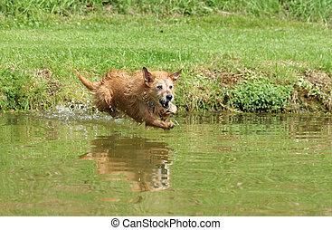 Sênior, cão, pular, lago