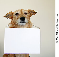 Dog with a blank sign - Cute scruffy terrier dog holding a...