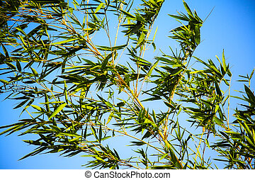 bamboo plant on the blue sky background