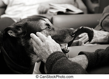 Pet therapy dog - Beautiful dog being petted by an elderly...