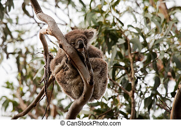 Wild life in Australia - Koala bear in the trees in wild...
