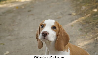 dog beagle in nature - dog beagle walking in the outdoors