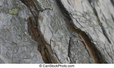 Ants in the tree bark. The Orange Ants are lining up from...