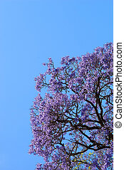 Jacaranda Tree - Beautiful Jacaranda trees in full bloom...
