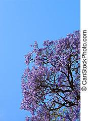 Jacaranda Tree - Beautiful Jacaranda trees in full bloom...