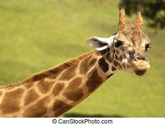Girafa, Coração, Dado forma, markings