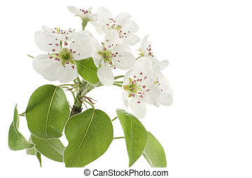 pear blossom - Studio Shot of White Colored Florescence Pear...