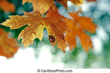 October Autumn Maple Leaf