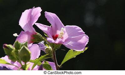 Hibiscus 3 - Hibiscus Flower.