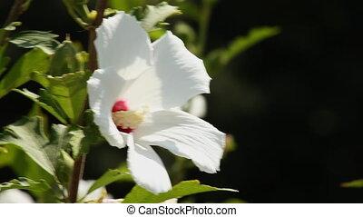 Hibiscus 6 - White hibiscus flower in a garden.