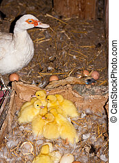 ducklings of muscovy duck