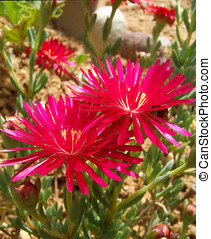 Red Pink Fig-Marigold Flowers - Fig-marigold / ice plant...