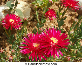 Red Pink Ice-Plant Flowers - Redish Pink Ice-Plant Flowers...