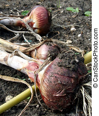 Harvesting Onions - Red onions laying on soil