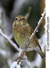Greenfinch - The European Greenfinch