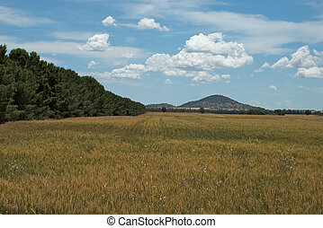 rural - a wheat crop below hills on the horizon
