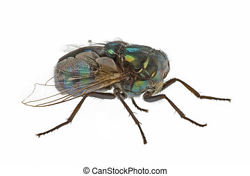 Live Household Fly Macro - Isolated macro image of a live...