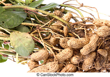 Raw Groundnuts Isolated - Isolated macro image of recently...