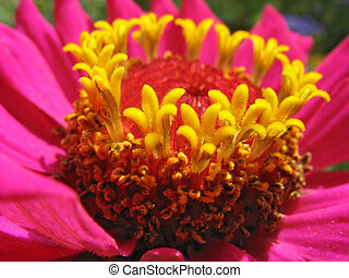 Close up of pink zinnia stamens - Stamens of beautiful pink...