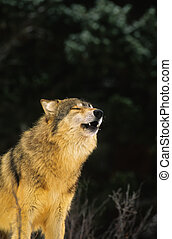 Howling Wolf - a gray wolf letting out a howl