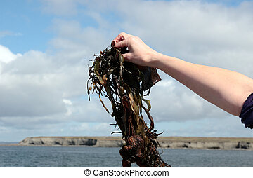seaweed held in hand - seaweed held up by hand with...