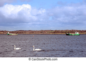 two white swans - two white beautiful swan in the water with...