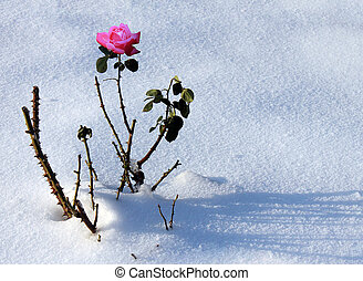 rose in snow - red rose in a snow