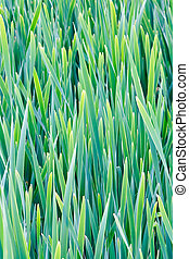 Reeds on the bank of lake for floral background - Green...