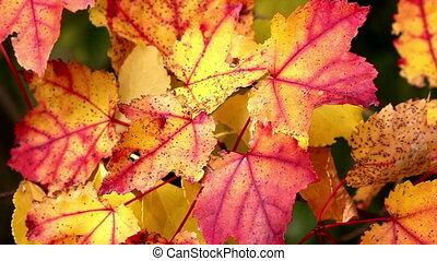 Colorful Red and Yellow Foliage - Colorful Red and Yellow...