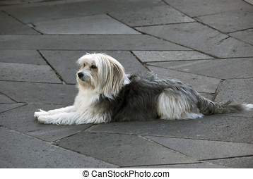 Lying dog - Catalan sheepdog lying in the floor. Gos d'atura