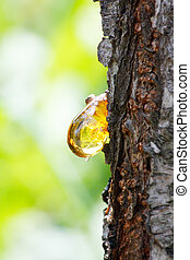 Amber yellow resin drop from queen-apple tree (Cydonia) -...