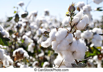 cotton bolls on branch - Close-up of Ripe cotton bolls on...