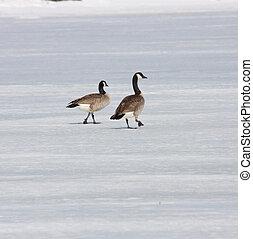 Canada Goose. Photo taken at Lower Klamath National Wildlife...