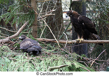 Golden Eagle. Photo taken at Northwest Trek Wildlife Park,...