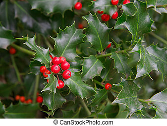 Holly Close up - Red berries and thorny green leaves of a...