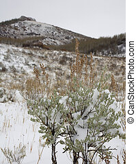 Frozen sagebrush - Sagebrush that has been caught in an...