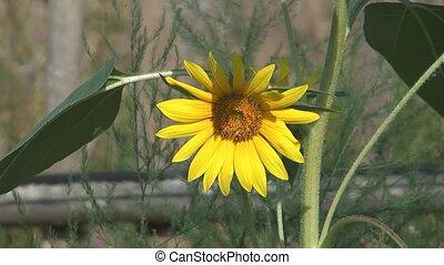 Sunflower. - HD 1920x1080 closeup shot of beauty sunflower.