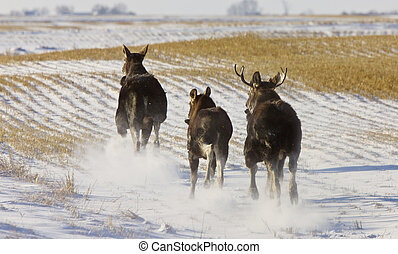 Prairie Moose Saskatchewan Canada Winter Running