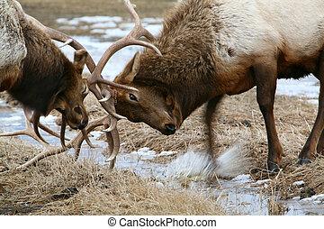 Fighting Elk - 2 elks fighting over territory