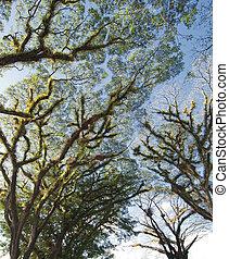 Textures of Bearded Mossman Trees, Australia - Textures of...