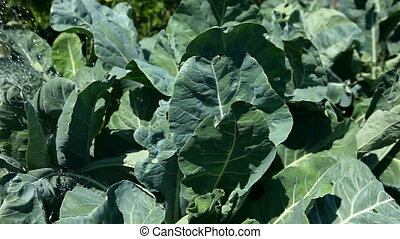 Irrigation. - Watering the beds with cabbage.