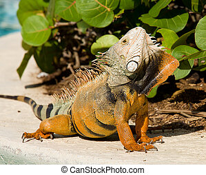 Iguana mating dance - Male iguana doing a mating dance and...