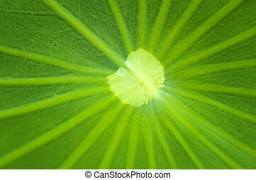 Lotus leaf - Close up on a green lotus leaf