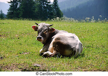Cow in Trentino Alto Adige - Resting cow pastures of...
