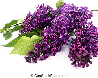 Purple lilac - Bunch of lilac on white background