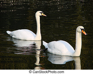 Bird - Tho swans in love walentines...