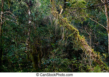 Biodiversity - Tree covered with epiphytes in the atlantic...