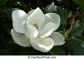 Magnolia Flower - A near perfect floral bloom from the a...