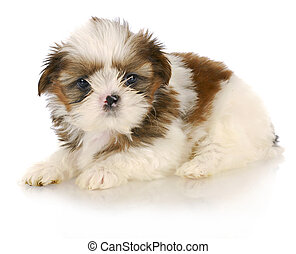 cute puppy - shih tzu puppy on white background - six weeks...
